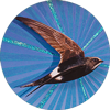 White Rumped Swift